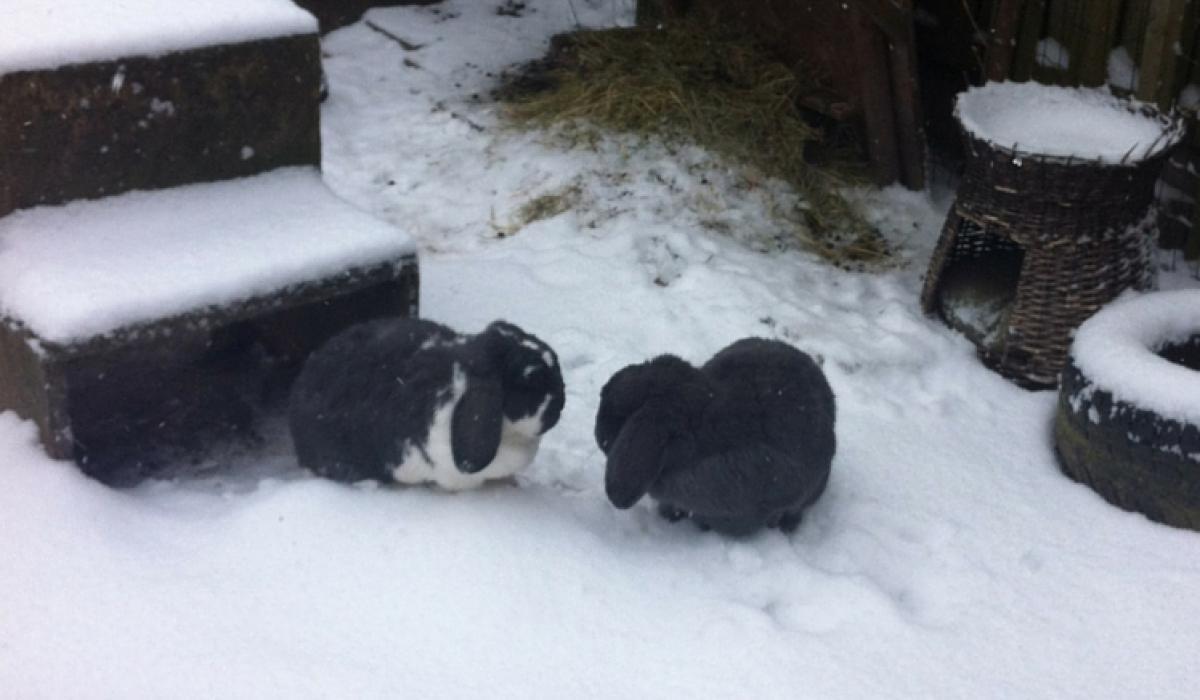 Konijnen sneeuw